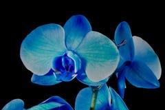 niebieski kwiat orchidei Obraz Stock