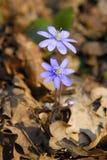 niebieski kwiat wiosna Zdjęcia Stock