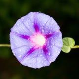 niebieski kwiat Zakończenie Obrazy Stock
