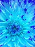 niebieski kwiat zimy. Fotografia Royalty Free