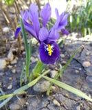 niebieski kwiaty przesłony Mini irysy kwiatu ogródu irysa słońca fiołek fotografia royalty free