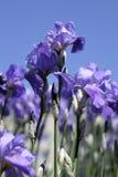 niebieski kwiaty przesłony Obrazy Royalty Free
