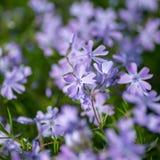 niebieski kwiaty trawy kwiat światła playnig tło Obrazy Royalty Free