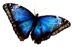 niebieski motyl obraz royalty free