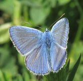 niebieski motyl Obrazy Royalty Free