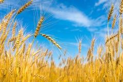 niebieski nieba pola pszenicy Obrazy Royalty Free
