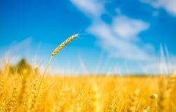 niebieski nieba pola pszenicy Zdjęcia Stock