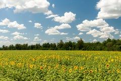 niebieski nieba słoneczniki polowe Zdjęcie Royalty Free