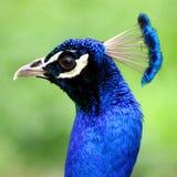 niebieski paw Obrazy Royalty Free