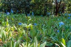 niebieski pola kwiatów Obrazy Royalty Free