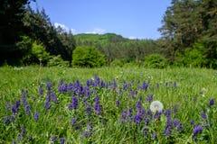 niebieski pola kwiatów Obraz Royalty Free