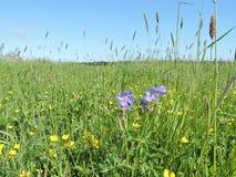 niebieski pole kwiaty trawy nieba łąkowego lato Fotografia Royalty Free