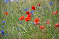 niebieski pole kwiaty trawy nieba łąkowego lato obraz stock