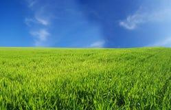niebieski pole przez niebo pszenicą Obrazy Royalty Free