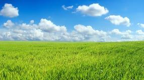 niebieski pole przez niebo pszenicą Zdjęcie Stock