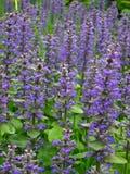 niebieski rozkwita wiosna Zdjęcia Royalty Free