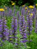 niebieski rozkwita wiosna Zdjęcie Stock