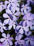 niebieski tła phlox Obrazy Stock