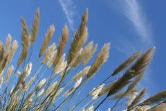niebieski trawa pampasów niebo wysoki Obraz Royalty Free