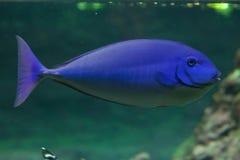 niebieski tropikalne ryby Zdjęcia Royalty Free