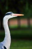 niebieski wielki heron portret Zdjęcia Stock