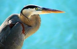 niebieski wielki heron portret Zdjęcia Royalty Free
