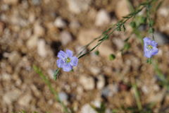 niebieski wildflower Zdjęcie Stock