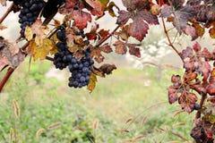 niebieski winogron Fotografia Royalty Free