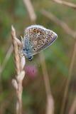 niebieski wspólne motyla Fotografia Stock
