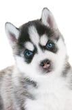 niebieskich oczu łuskowaty szczeniaka siberian Obraz Royalty Free