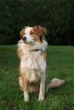 niebieskie collie, merle owce psa zdjęcie stock