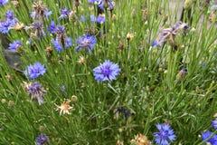 niebieskie cornflowers Zdjęcie Stock