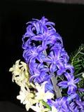 niebieskie hiacynty białe fotografia stock