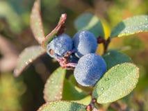 niebieskie jagody fotografia stock