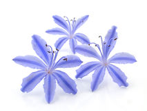 niebieskie jaskrawe kwiaty Obrazy Royalty Free