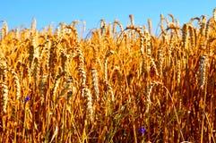 Niebieskie Nieba nad wheatfield Fotografia Stock
