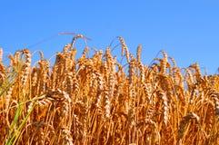Niebieskie Nieba nad wheatfield Obraz Royalty Free