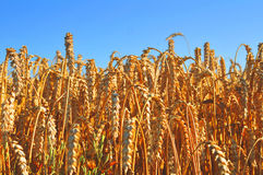 Niebieskie Nieba nad wheatfield Zdjęcia Stock