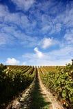niebieskie niebo gronowi winorośli Zdjęcie Royalty Free