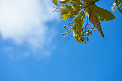 Niebieskie niebo i mała owoc z liściem Fotografia Stock