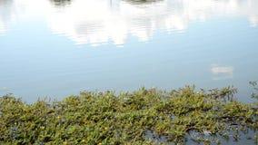 Niebieskie niebo i roślina wodna zbiory wideo
