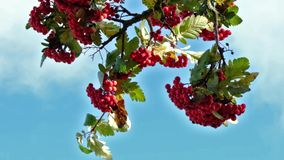 Niebieskie niebo jeżynowe gałęzie planu rowów zwolnionego ruchu czerwone jagody poruszające się zbiory