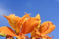 niebieskie niebo lily tygrysa Fotografia Stock
