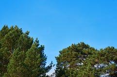 Niebieskie niebo przeciw wierzchołkom drzewa w pogodnej pogodzie fotografia stock