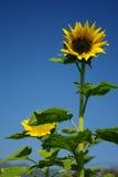 niebieskie niebo słonecznik Fotografia Royalty Free