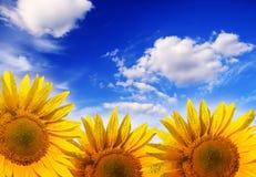 niebieskie niebo słonecznik Zdjęcie Royalty Free