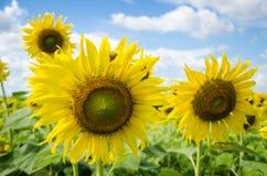 niebieskie niebo słoneczniki Zdjęcia Royalty Free