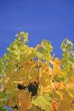 niebieskie niebo winograd Zdjęcie Royalty Free
