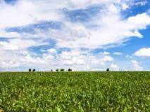 niebieskie niebo z chmurami nad kukurydzanym polem w Picardy zdjęcia royalty free