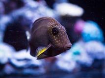 Niebieskie Oko blaszecznica zdjęcie royalty free